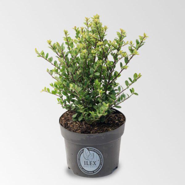 Wat kost een Ilex plant